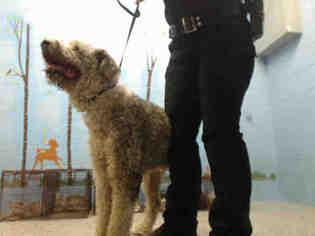 Old English Sheepdog Dogs for adoption in San Bernardino, CA, USA