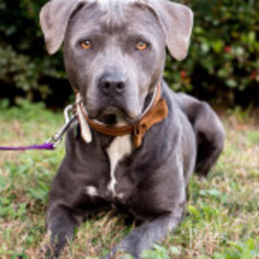 Labrador Retriever-Staffordshire Bull Terrier Mix Dog For Adoption in savannah, GA, USA