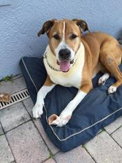 Saint Bernard Mix Dog For Adoption in Tampa, FL, USA