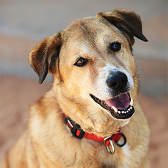 German Shepherd Dog Dog For Adoption in Kanab, UT, USA
