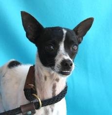 Rat-Cha Dog For Adoption in San Antonio, TX
