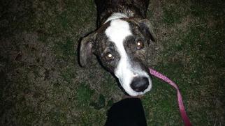 American Bulldog-English Springer Spaniel Mix Dog For Adoption in Houston, TX, USA