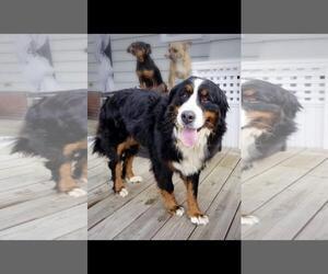 Puppyfindercom Bernese Mountain Dog Dogs For Adoption Near