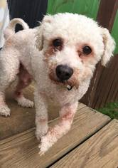 Puppyfinder com: Poochon dogs for adoption near me in South