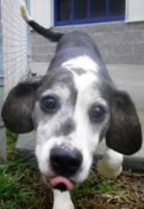 Beagle Mix Dog For Adoption in Canterbury, NH, USA
