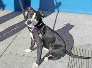 View Ad American Pit Bull Terrier Border Collie Mix Dog For