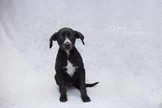 Labrador Retriever Dog For Adoption in Valley Falls, KS, USA