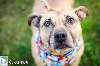 American Pit Bull Terrier Mix Dog For Adoption in Carlsbad, CA, USA