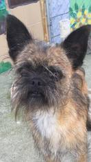 Brussels Griffon Dog For Adoption in Pacolet, SC