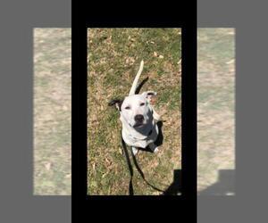 Basset Hound Dogs for adoption in Brooksville, FL, USA