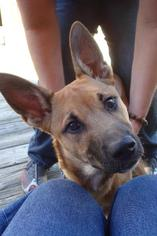 Doberman Pinscher Mix Dog For Adoption in Decatur, GA, USA
