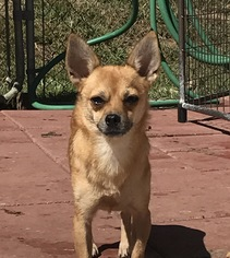Chihuahua Dog For Adoption in Pacolet, SC, USA