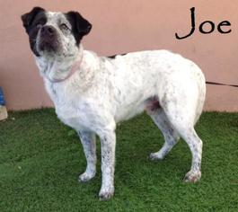 Dalmatian Mix Dog For Adoption in San Diego, CA, USA