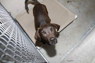 Basset Hound Mix Dog For Adoption in Crossville, TN, USA