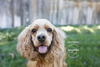 Cocker Spaniel Dog For Adoption in Sherman Oaks, CA, USA