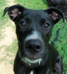 American Pit Bull Terrier-Labrador Retriever Mix Dog For Adoption in Zionsville, IN, USA