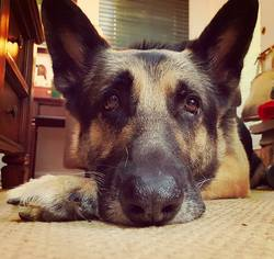 German Shepherd Dog Dog For Adoption in Baltimore, MD, USA