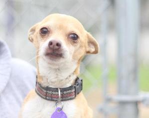 Chihuahua Mix Dog For Adoption in Fresno, CA, USA