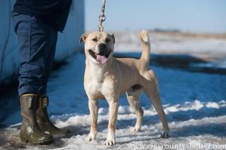 American Pit Bull Terrier Mix Dog For Adoption in Flora, IL