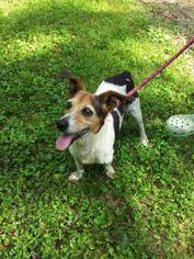Jack Russell Terrier Mix Dog For Adoption in Columbia, TN, USA