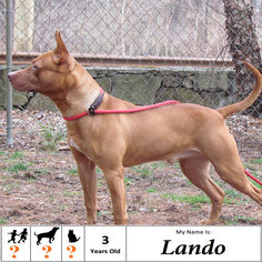 View Ad: American Staffordshire Terrier-Pharaoh Hound Mix ...