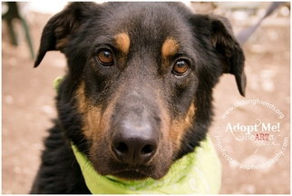 German Shepherd Dog Mix Dog For Adoption in Lago Vista, TX, USA