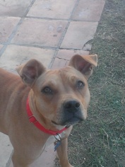 Labrador Retriever Mix Dog For Adoption in Costa Mesa, CA, USA