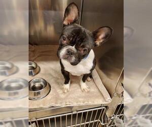 Faux Frenchbo Bulldog Dogs for adoption in Rancho Cucamonga, CA, USA