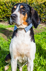 Treeing Walker Coonhound Dog For Adoption in El Cajon, CA, USA