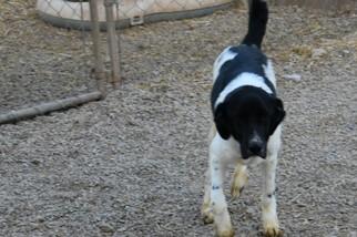 Australian Shepherd Dog For Adoption in Parker, KS, USA