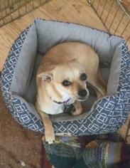 Chihuahua Mix Dog For Adoption in Federal Way, WA