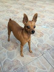 Miniature Pinscher Dog For Adoption in Tampa, FL, USA