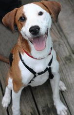 Beagle Mix Dog For Adoption in Kansas City, MO, USA