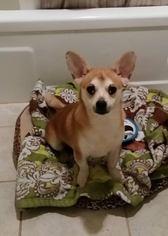 Chi-Corgi Dog For Adoption in Columbia, TN, USA