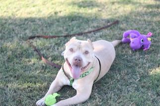 American Staffordshire Terrier Dog For Adoption in Fresno, CA, USA