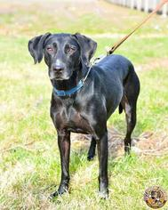 Labrador Retriever Mix Dog For Adoption in Mt Vernon, IN, USA