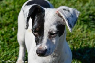 Dachshund Mix Dog For Adoption in Hesperia, CA, USA