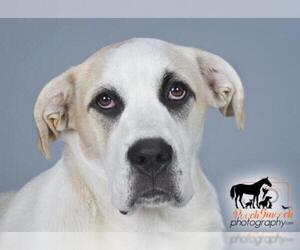 Bulldog-Great Pyrenees Mix Dogs for adoption in Effort, PA, USA
