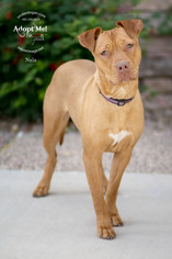 Chinese Shar-Pei-Staffordshire Bull Terrier Mix Dog For Adoption in Chandler, AZ