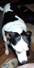 Rat Terrier Mix Dog For Adoption in Anderson, SC, USA