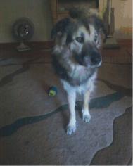 Irish Wolfhound Mix Dog For Adoption in O Fallon, MO, USA