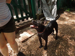 Staffordshire Bull Terrier Mix Dog For Adoption in Stone Mountain, GA, USA