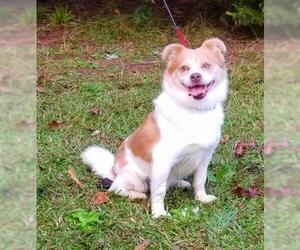 Jack-A-Ranian Dogs for adoption in Social Circle, GA, USA
