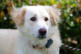View Ad Australian Retriever Dog For Adoption Near California El