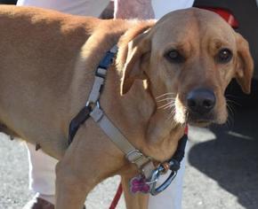 Basset Hound-Labrador Retriever Mix Dog For Adoption in Tallahassee, FL