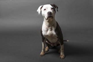 View ad american staffordshire terrier pointer mix dog for adoption american staffordshire terrier pointer mix dog for adoption in el cajon ca usa solutioingenieria Images