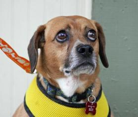 Puggle Dog For Adoption in Asheville, NC