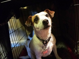 Jack Russell Terrier Dog For Adoption in Chandler, AZ, USA