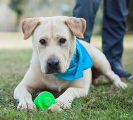 Golden Labrador Dog For Adoption in Lafayette, LA, USA