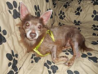 Pomeranian Dog For Adoption in Tampa, FL, USA